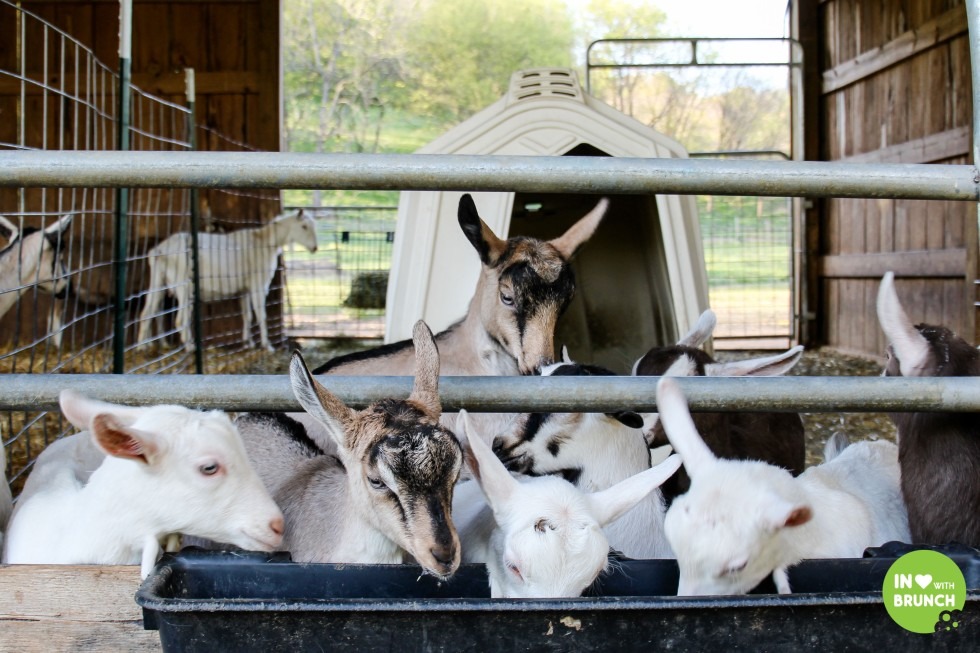 Noble Spring Dairy Franklin Goat Farm