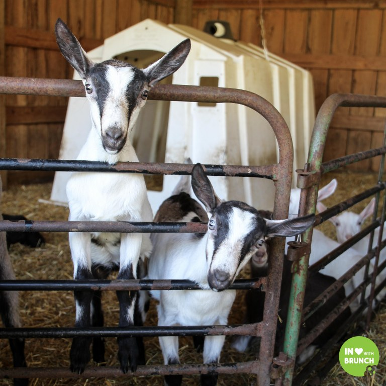 Noble Spring Dairy Franklin Goat Farm